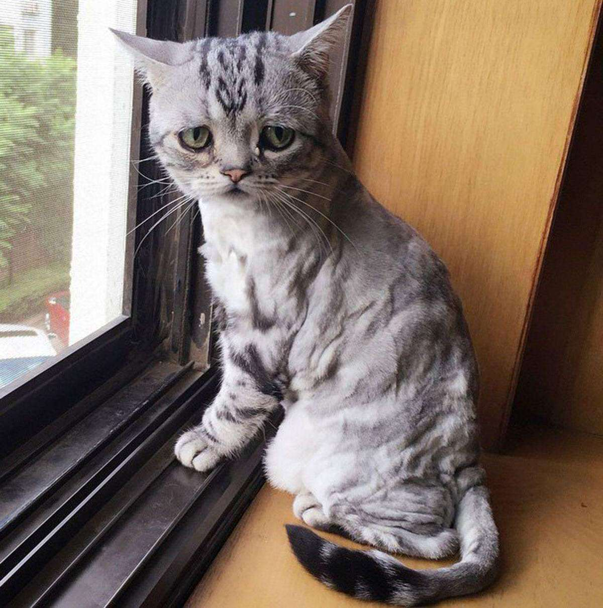 Luhu-the-saddest-tabby-cat (5)
