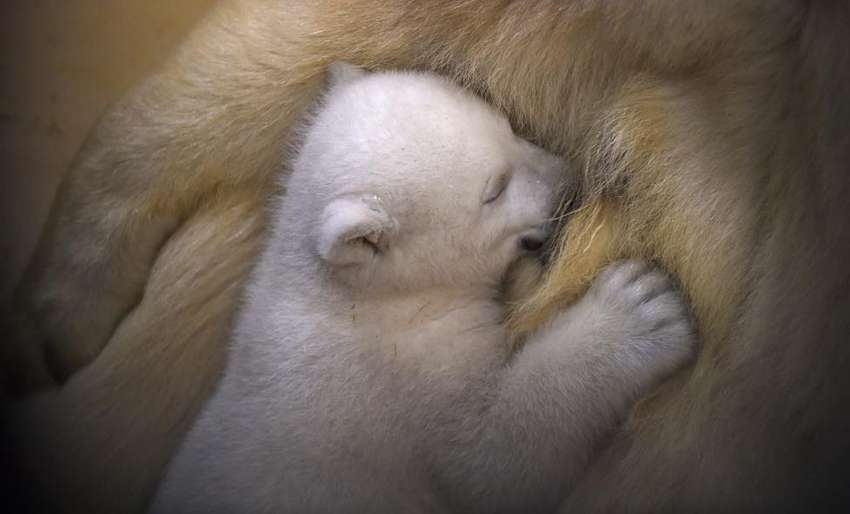 A polar bear cub snuggles up against her mother Valeska, in their enclosure at Bremerhaven's (Bremen's) Zoo by the Sea, Germany. REUTERS/Carmen Jaspersen/Pool