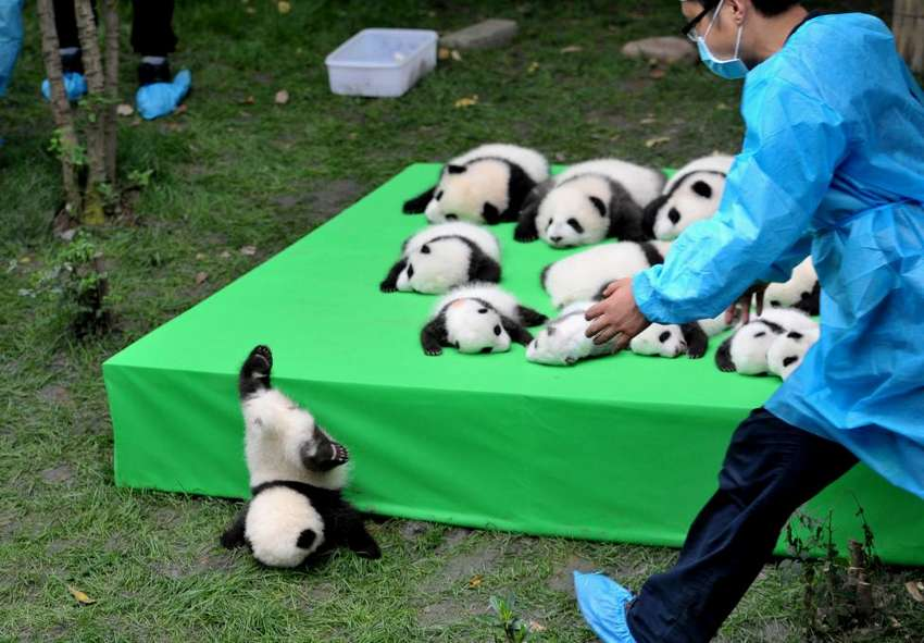 A giant panda cub falls from the stage while 23 giant pandas born in 2016 are seen on a display at the Chengdu Research Base of Giant Panda Breeding in Chengdu, Sichuan province, China September 29, 2016. China Daily/via REUTERS