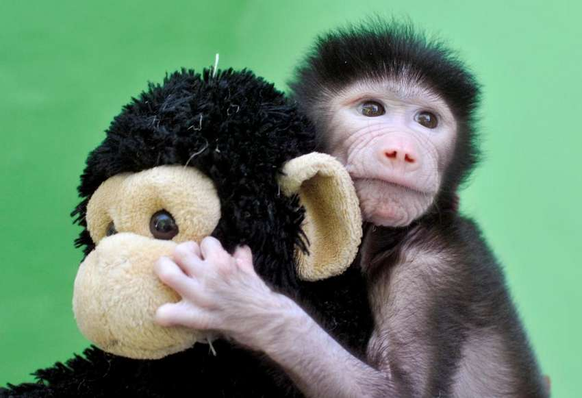 A 23-day-old hamadryas baboon plays with a stuffed toy at Sri Chamarajendra Zoological Gardens after the baboon, according to a zoo doctor, was abandoned by its mother after its birth on April 4, in the southern city of Mysuru, India, April 28, 2016. REUTERS/Abhishek N. Chinnappa