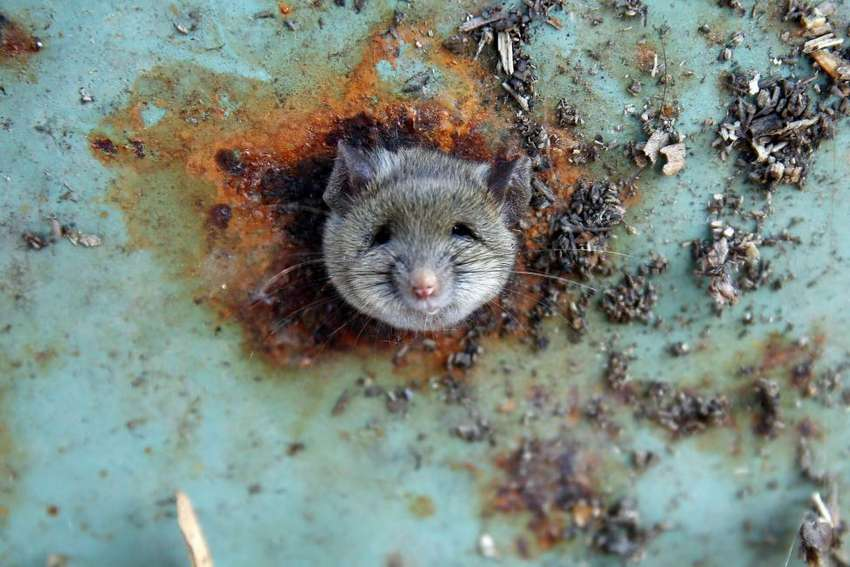 A rat's head rests as it is constricted in an opening in the bottom of a garbage can in Brooklyn, New York, October 18, 2016. REUTERS/Lucas Jackson