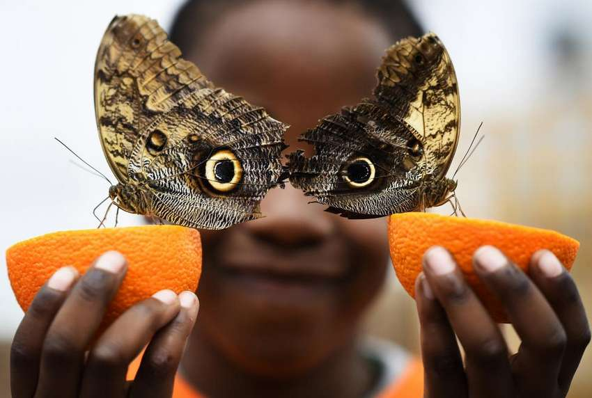 Bjorn, aged 5, smiles as he poses with a Owl butterfly during an event to launch the Sensational Butterflies exhibition at the Natural History Museum in London, Britain. REUTERS/Dylan Martinez
