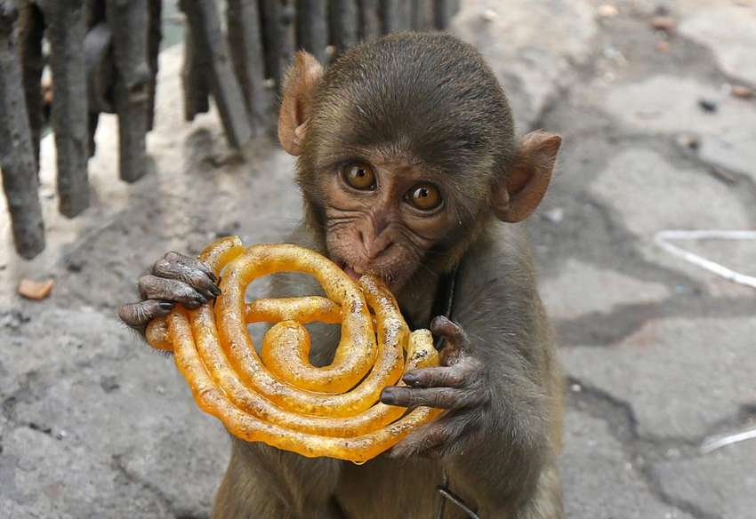 Musafir, a pet monkey, eats a Jalebi sweet on a pavement in Kolkata, India, June 9, 2016. REUTERS/Rupak De Chowdhuri