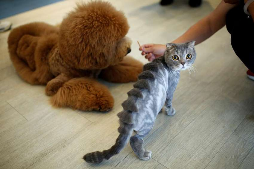"A cat with a ""stegosaurus spine"" design cut into its fur is seen next to a dog at a pet shop, in Tainan, Taiwan. REUTERS/Tyrone Siu"
